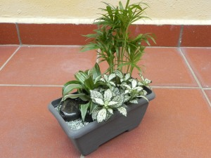 With Nerve Plant, Neanthe Bella Palm and Dracena Compacta